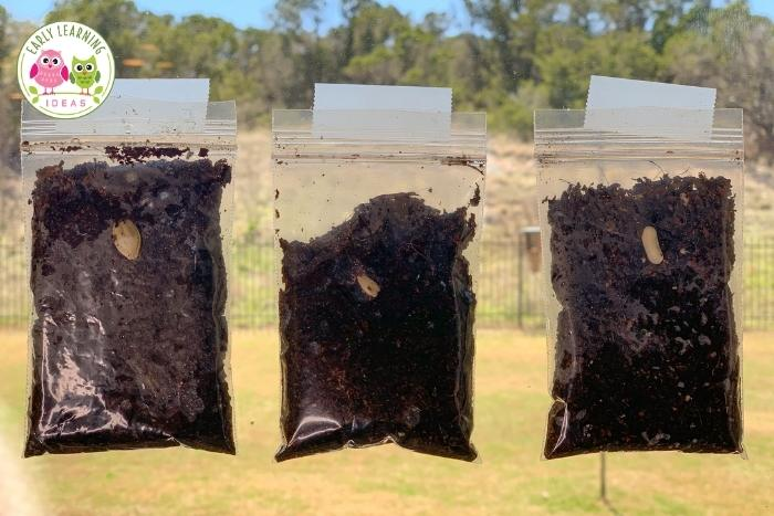 plant seeds in small plastic bags and observe them as they grow.