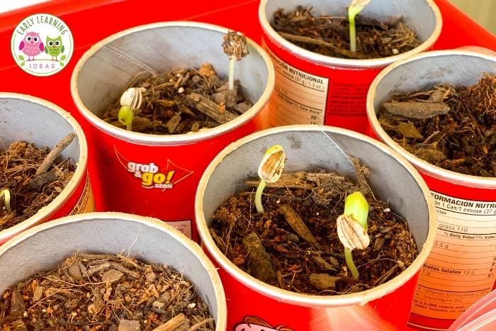 plant flower seeds and observe with kids