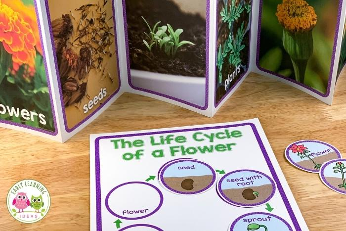 life cycle of a flower interactive printable and book