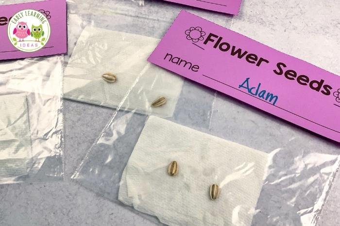 flower science investigation -place seeds in a plastic sandwich bag to watch them sprout