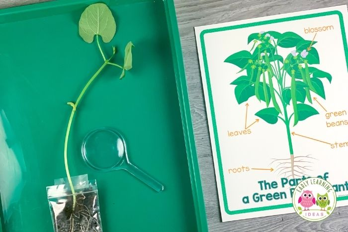 Plant and seeds science for preschoolers - plant seeds in small plastic bags to study and observe them as they grow
