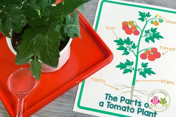 plant activities for preschoolers - observe the parts of a plant