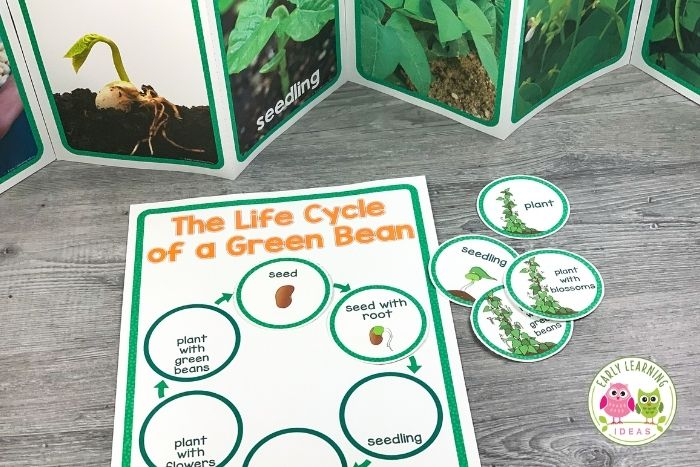 teach kids the life cycle of a green bean plant or a flowering plant.