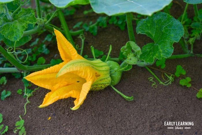 The pumpkin plant develops flowers.  The female blossoms eventually develop into pumpkins.