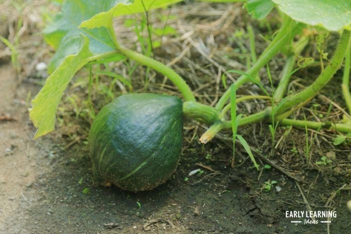 pumpkins begin as green pumpkins