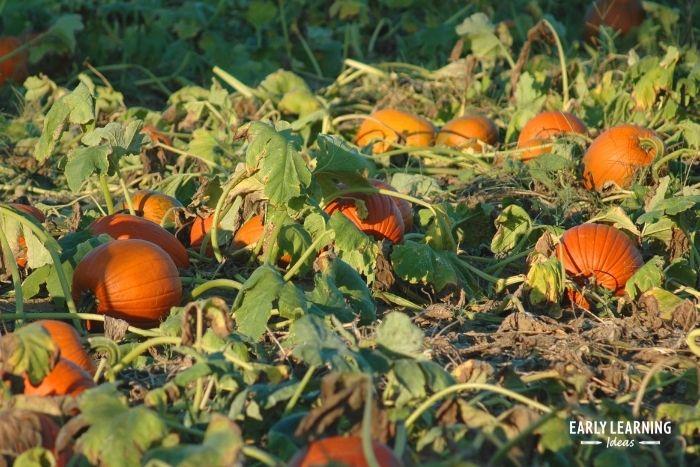 finally, pumpkins ripen into mature, orange pumpkins.