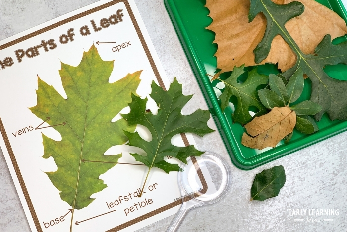 Parts of a leaf poster or diagram so that kids can identify the parts on their leaves.